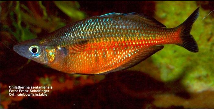 Ikan Pelangi.
