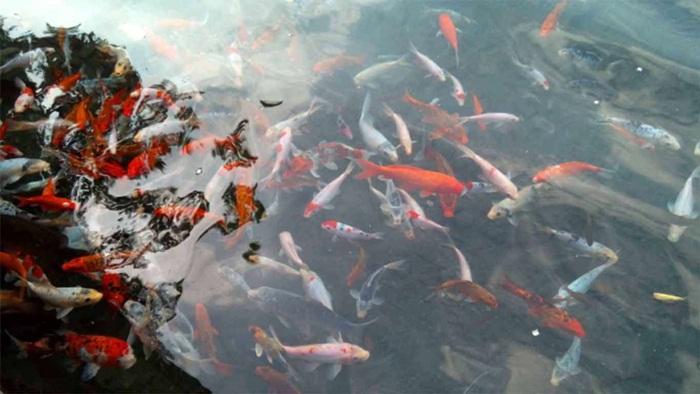 ikan di kolam alami Sumber Maron