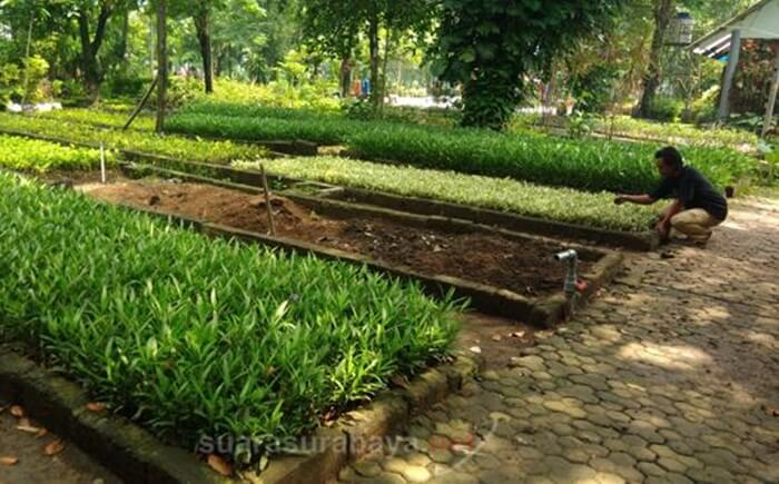 pekerja pembibitan kebun bibit wonorejo menyiapkan bibit untuk seluruh taman di kota surabaya
