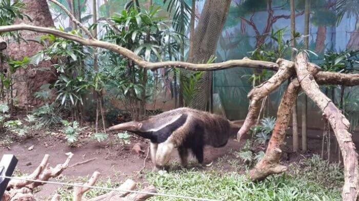 Koleksi langka giant anteater batu secret zoo merupakan 1 dari hewan ini yang ada dikebun biantnag seluruh asia tenggara