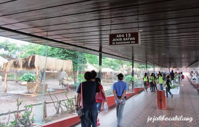 Lorong kaca Savana bati secret zoo tempat melhak lihat kehidupan savana mulai dari hewan sampai miniatur habitat