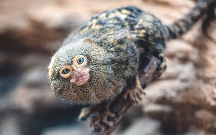 monyet terkecil sedunia seukuran jempol koleksi batu secret zoo