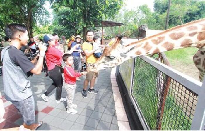 memberi makan jerapah koleksi batu secret zoo menjadi salah satu ataksi wisata yang digemari pengunjung, khususnya pengunjung anak.