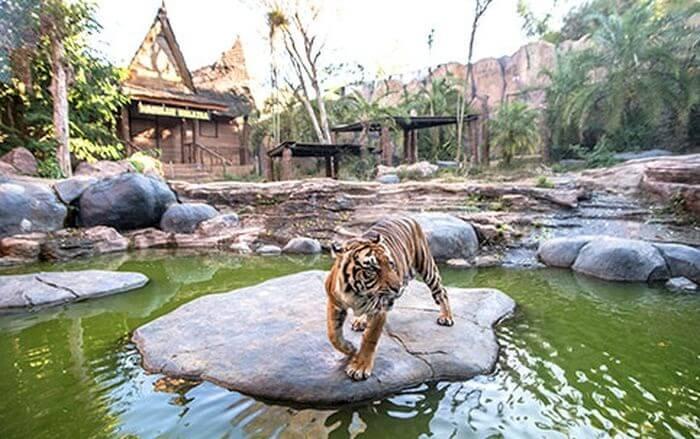 tiger land batu secret zoo menjadi tempat penangkaran pagi kucing besar ini, yang ddesain membuat mereka nyaman dan cukup bergerak.