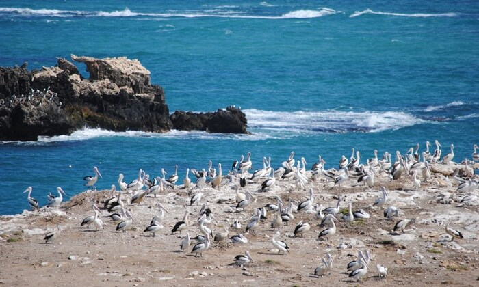 tempat wisata di Perth Pulau Penguin adalah cagar alam seluas 12,5 hektar. Itu mengambil namanya, dan reputasinya, dari banyak Penguin Kecil yang tinggal di sana.