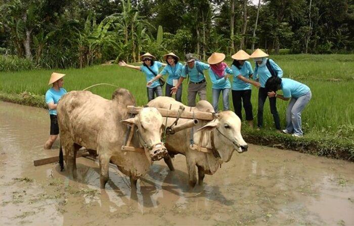 membajak sawah di desa wisata tembi mengajak pengunjung utnuk mengenal lebh jauh suasana kehidupan petani di desa