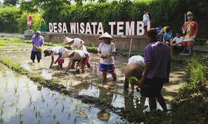 wisata menanam padi di desa wisata tembi