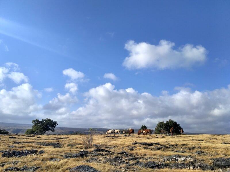 Kuda Sandel Di Savana Puru Kambera