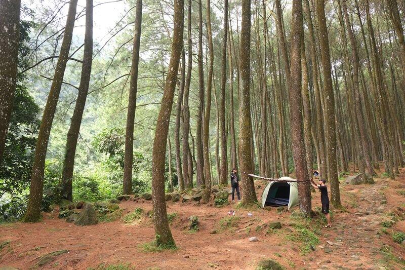 Jajaran Pohon Pinus Yang Indah