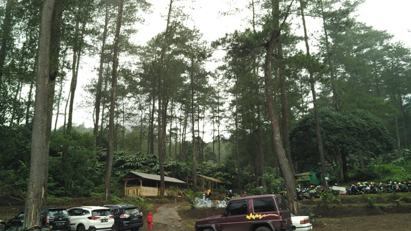 Pohon Pinus Dekat Area Parkir Curug Badak
