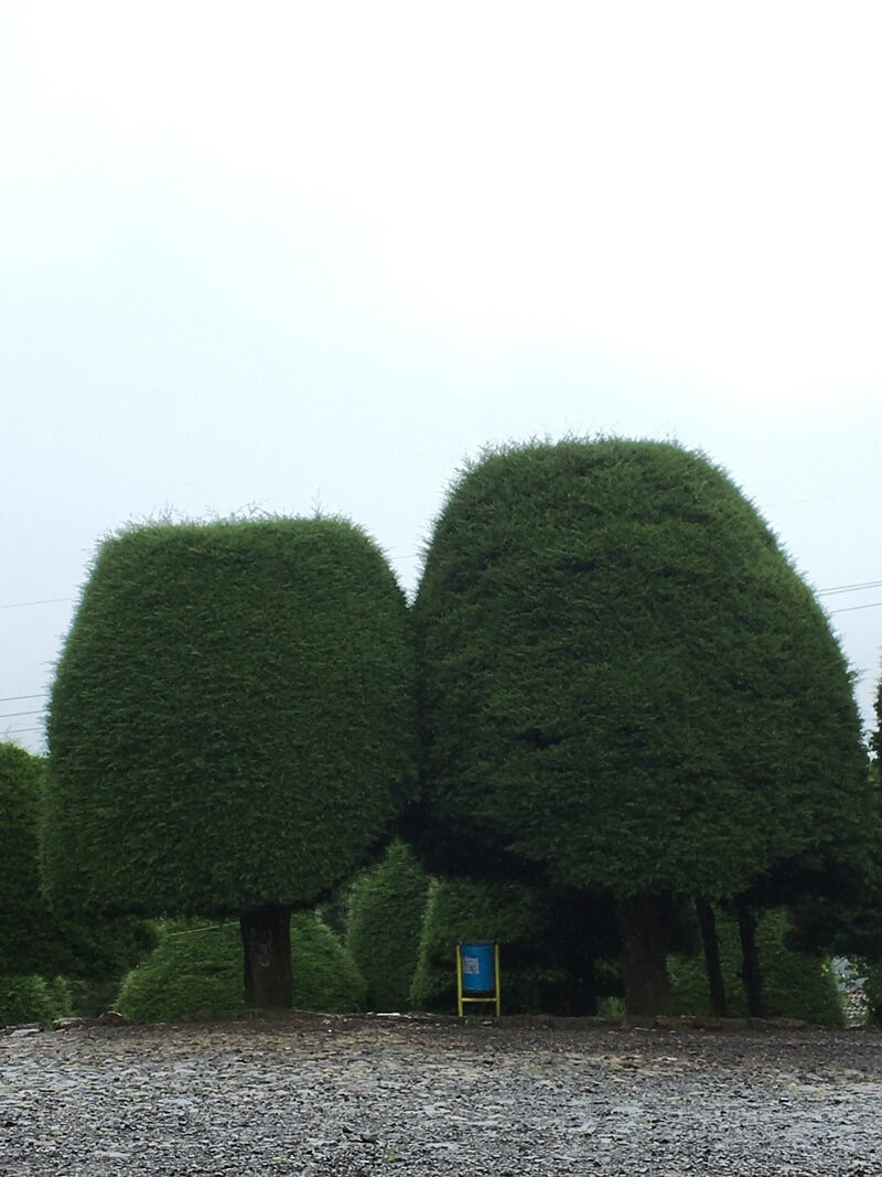 pohon cemara dibentuk jamur raksasa
